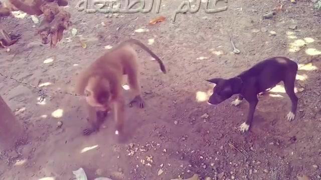 كلب يكاد يفقد عقله من القرد هههه