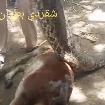 ثعبان يبتلع ثورفي السودان