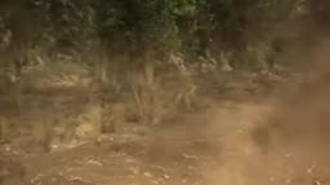 سباق الصبي مع الذئاب ومحاربه النمور لحمايه الغابه