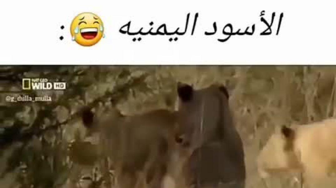 شاهد الاسود اليمنية في الغابة